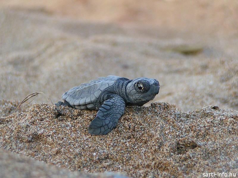 Teknős bébi a homokban