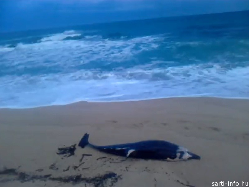 Partra vetődött delfin