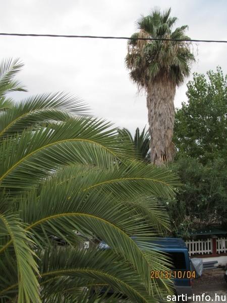 Sarti legnagyobb pálmafája