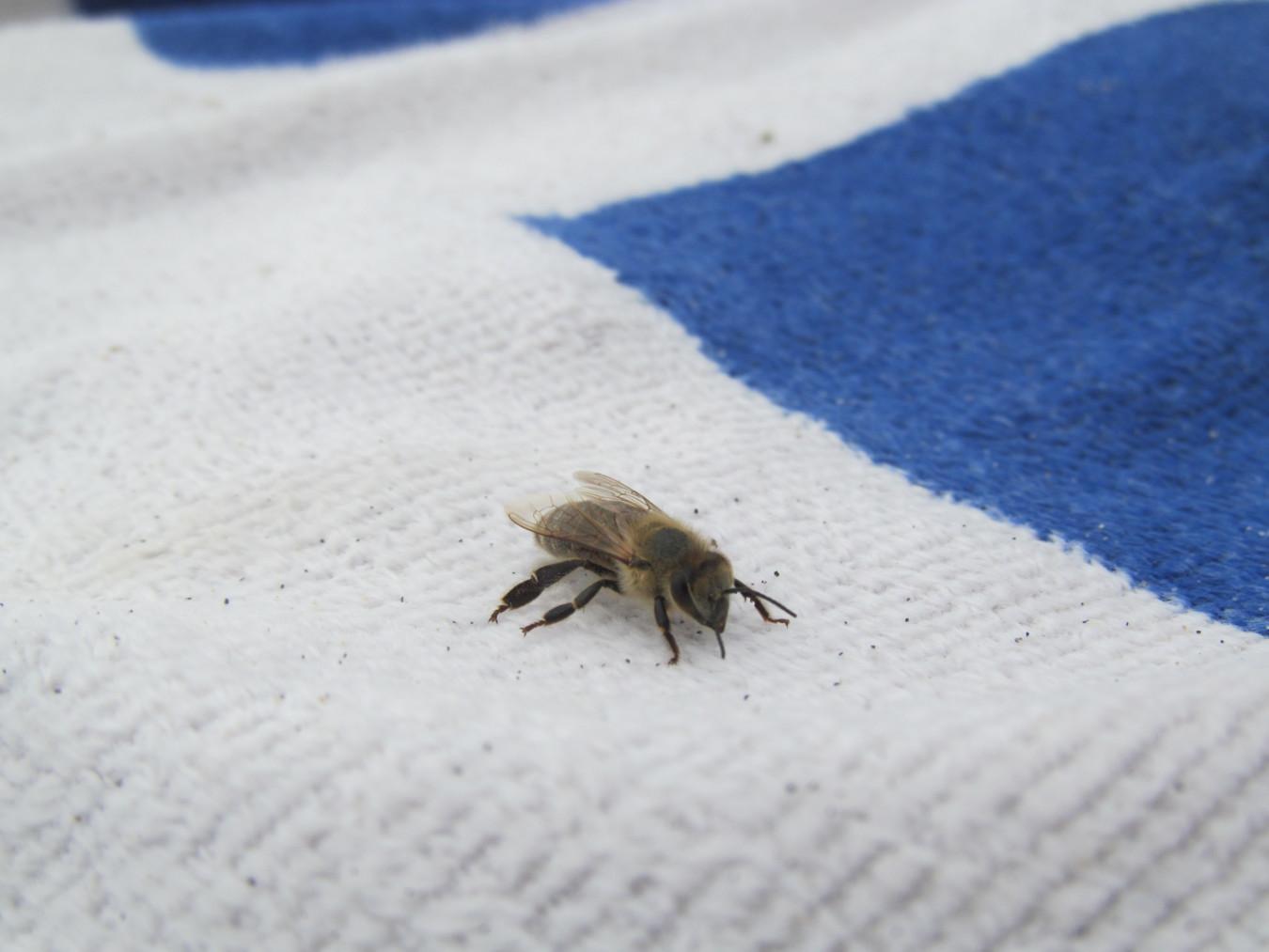 Görög méh a törölközőn (Méhek napja)