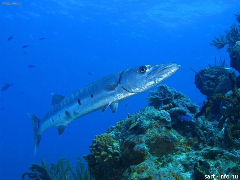 Barracuda hal