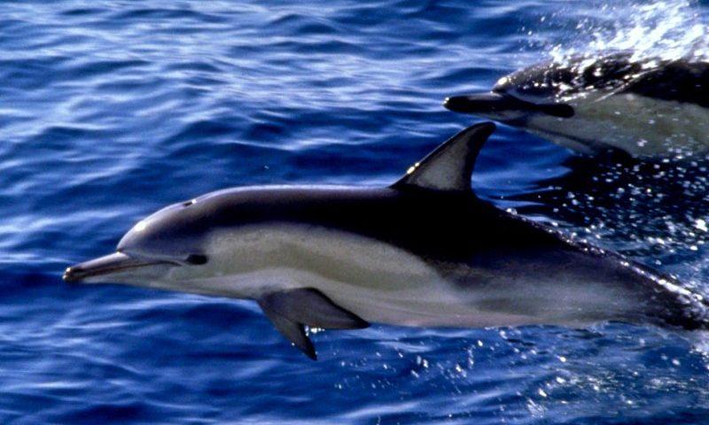 Delfin a vízben