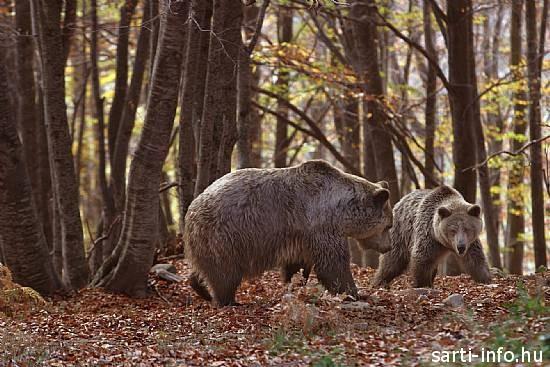 Arcturos medvéi a nimfeoi Menedékhelyen