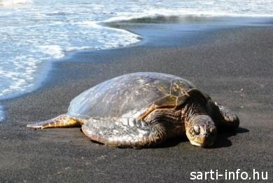 Halott ál-cserepes teknős