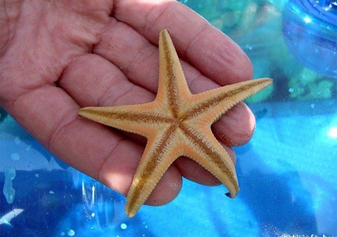 Tengeri csillag Sartin
