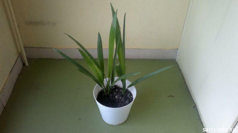 Fiatal pálmafa