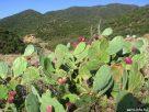 Kaktusz a Sithonia félszigeten