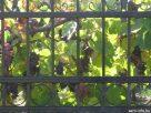 Szőlő a kerítésen