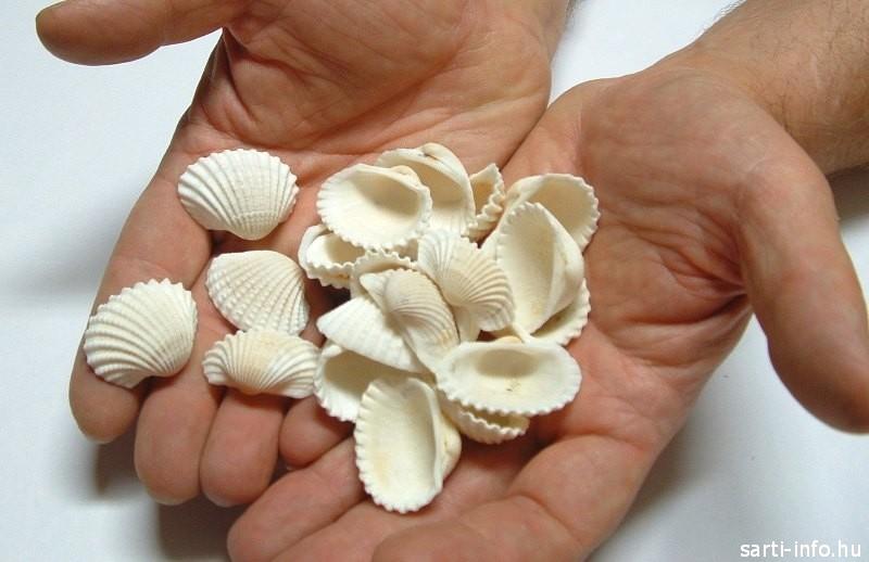 Anadara kagylók a Csigaházból