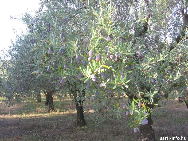 Olívafák
