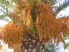 Datolyapálma termése