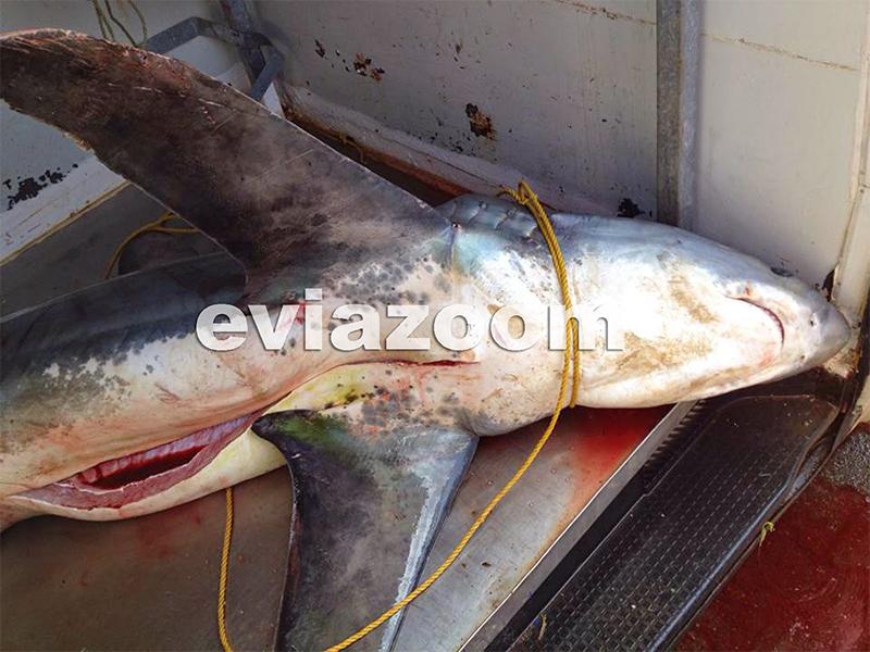 Az elejtett cápa
