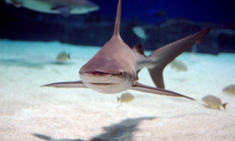 Homokpadi cápa, Fotó: Yzx