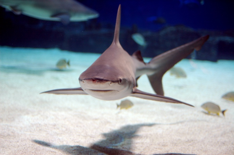 Cápák Görögországban: Homokpadi cápa, Fotó: Jeff Kubina