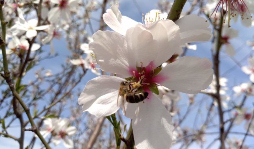 Méhecske a mandulafán