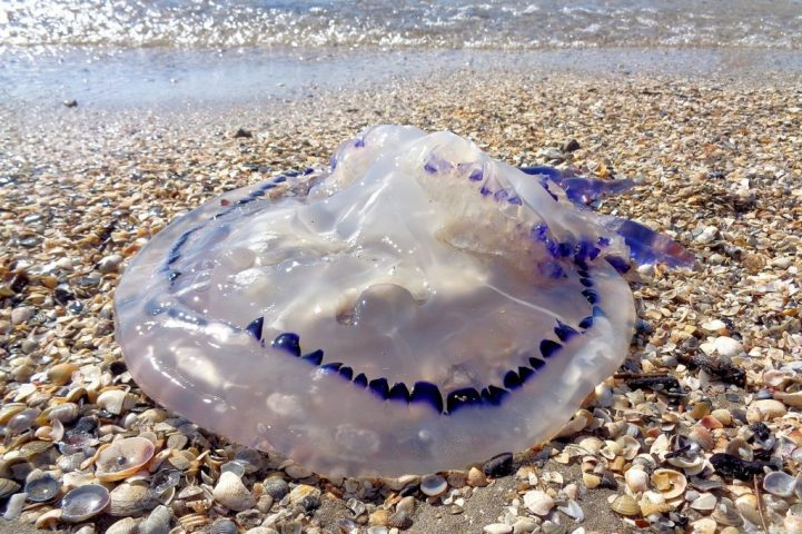 Partra vetett medúza